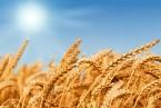 16_Wheat field
