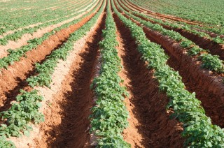 Crop yields to drop by 25 percent towards the end of the century.